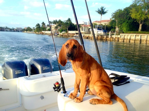 Dixie the boating bloodhound