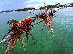 Lionfish - Treasure Cay, Bahamas