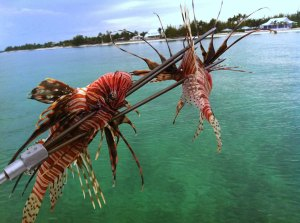 Lionfish - Treasure Cay, Bahamas